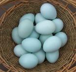 ameraucana_eggs
